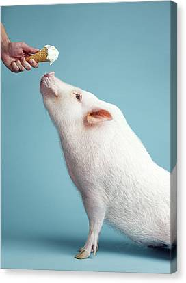 Pickle The Pig IIi Canvas Print by Eli Warren