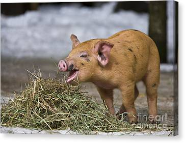Piglet Eating Hay Canvas Print by Jean-Louis Klein & Marie-Luce Hubert
