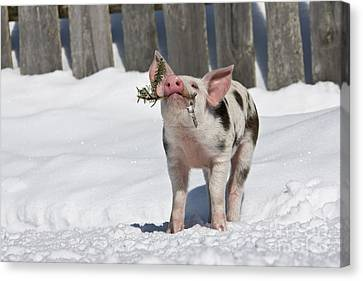 Piglet Playing In Snow Canvas Print by Jean-Louis Klein & Marie-Luce Hubert