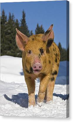 Piglet Walking In Snow Canvas Print by Jean-Louis Klein & Marie-Luce Hubert