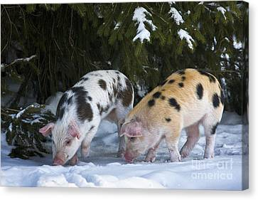 Piglets Foraging In Snow Canvas Print by Jean-Louis Klein & Marie-Luce Hubert