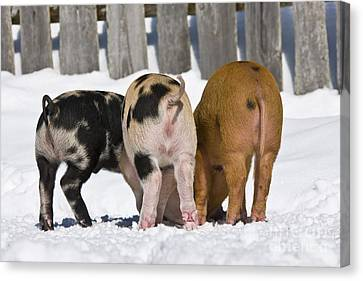Piglets From Behind Canvas Print by Jean-Louis Klein & Marie-Luce Hubert