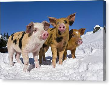 Piglets In Snow Canvas Print by Jean-Louis Klein & Marie-Luce Hubert