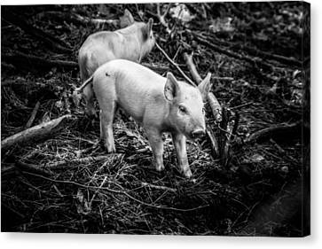 Piglets Looking For Dinner Canvas Print by Jeff Folger