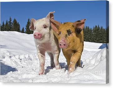Piglets Walking In Snow Canvas Print by Jean-Louis Klein & Marie-Luce Hubert