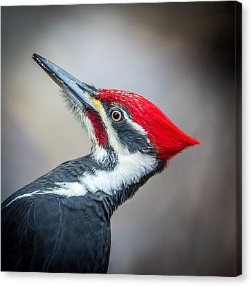Pileated Closeup Canvas Print by Paul Freidlund