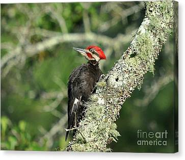 Pileated Perch Canvas Print by Al Powell Photography USA