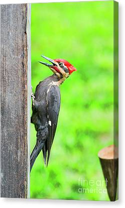 Pileated Woodpecker On A Post Canvas Print by Dan Friend