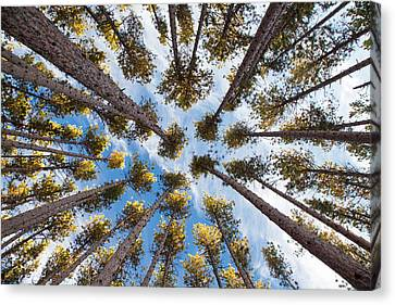 Pine Tree Vertigo Canvas Print by Adam Pender