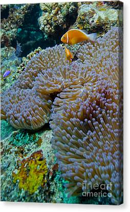 Pink Anemonefish Guard Their Anemone Canvas Print by Michael Wood