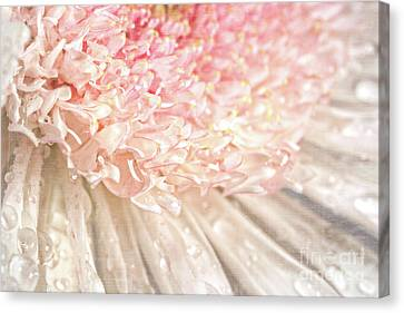 Pink Chrysanthemum With Antique Distress Canvas Print by Sandra Cunningham