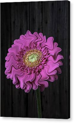 Pink Daisy Surrealism Canvas Print by Garry Gay