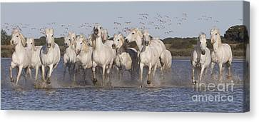 Pink Flamingoes And White Horses Canvas Print by Carol Walker