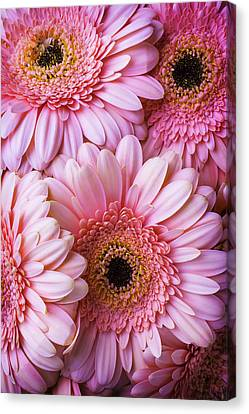 Pink Gerbera Daisy Bunch Canvas Print by Garry Gay