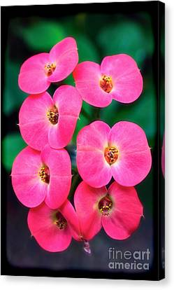 Pink Orchid Crown Of Thorns Canvas Print by Sue Melvin