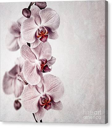 Pink Orchid Vintage Canvas Print by Jane Rix