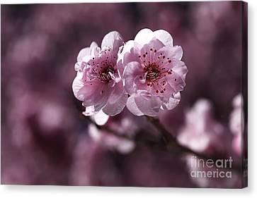 Pink Prunus Blossom Canvas Print by Joy Watson