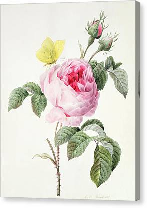 Pink Rose With Buds And A Brimstone Butterfly Canvas Print by Louise DOrleans