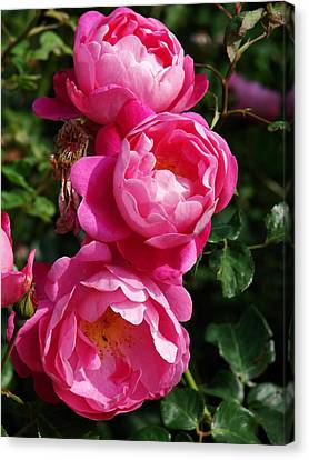 Pink Roses Canvas Print by Nicola Butt