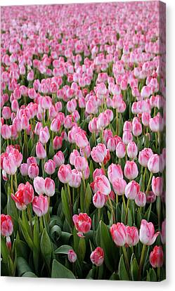 Pink Tulips- Photograph Canvas Print by Linda Woods