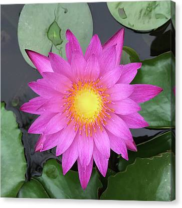 Pink Water Lily Flower Canvas Print by Tony Grider