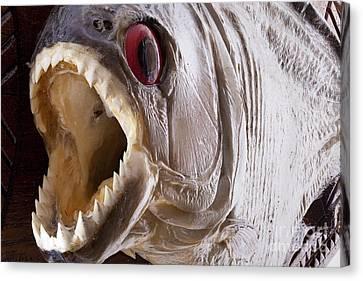 Piranha Fish Close Up Canvas Print by Simon Bratt Photography LRPS