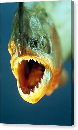 Piranha's Mouth Canvas Print by David Aubrey