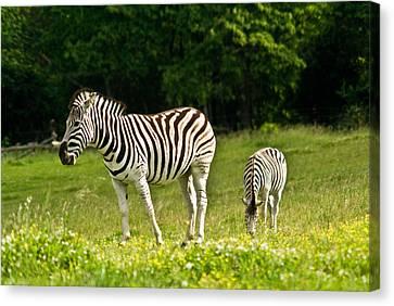 Plains Zebra 1 Canvas Print by Douglas Barnett