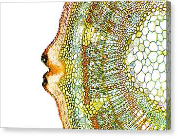 Plant Breathing Pore, Light Micrograph Canvas Print by Dr Keith Wheeler
