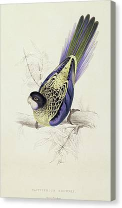 Platycercus Brownii, Or Browns Parakeet Canvas Print by Edward Lear