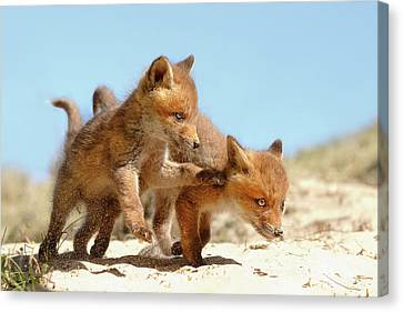 Playing Fox Kits Canvas Print by Roeselien Raimond