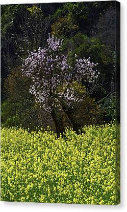 Plue Tree In Mustrad Grass Canvas Print by Garry Gay