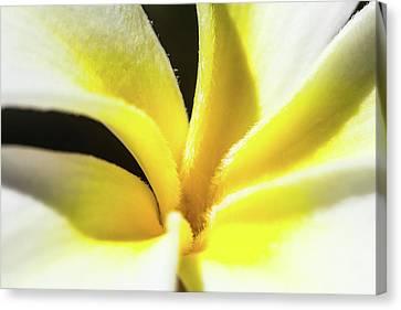 Plumeria Close Up Canvas Print by Sean Davey
