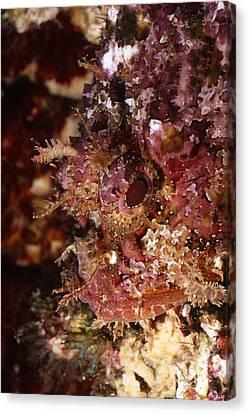 Poisnous Stone Fish, Scorpaena Mystes Canvas Print by James Forte