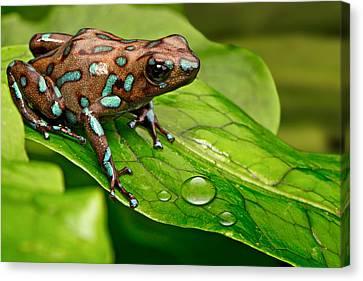 poison art frog Panama Canvas Print by Dirk Ercken