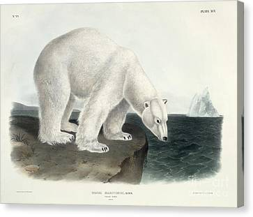 Polar Bear Canvas Print by John James Audubon