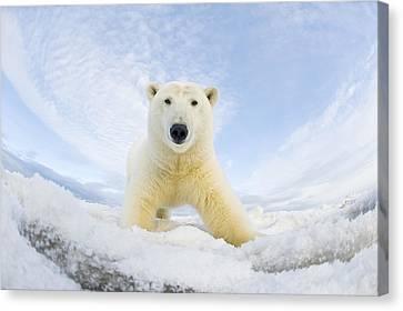 Polar Bear  Ursus Maritimus , Curious Canvas Print by Steven Kazlowski