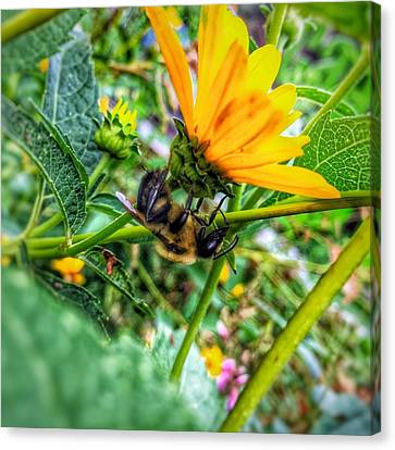 Pollinated Buzz Canvas Print by Jame Hayes