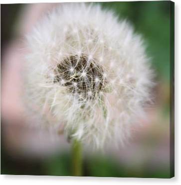 Poof Canvas Print by Lynnette Johns