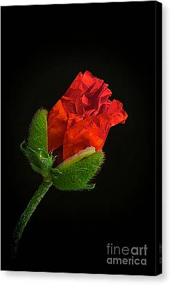 Poppy Bud Canvas Print by Toni Chanelle Paisley