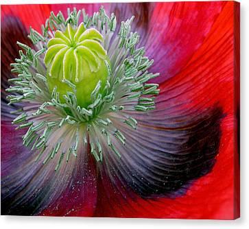 Poppy Canvas Print by David April