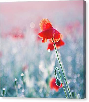 Poppy Field In Flower With Morning Dew Drops Canvas Print by Sophie Goldsworthy