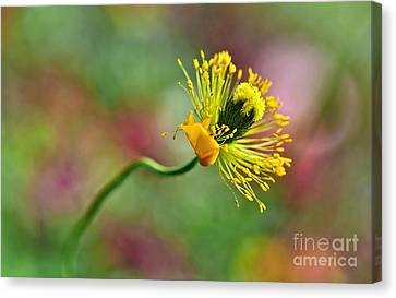 Poppy Seed Capsule Canvas Print by Kaye Menner