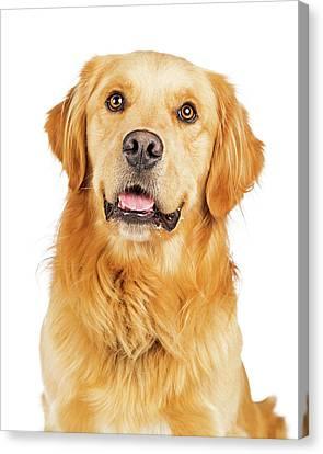 Portrait Happy Purebred Golden Retriever Dog Canvas Print by Susan Schmitz