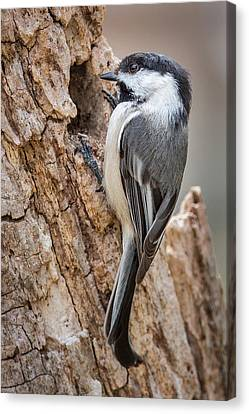 Portrait Of A Black Capped Chickadee Canvas Print by Bill Wakeley