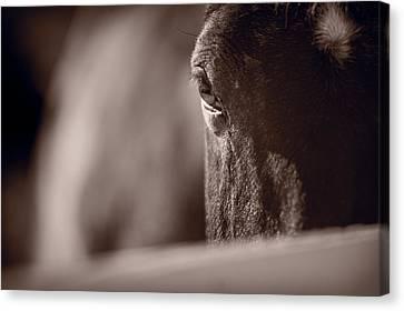 Portrait Of A Horse Kentucky Canvas Print by Steve Gadomski