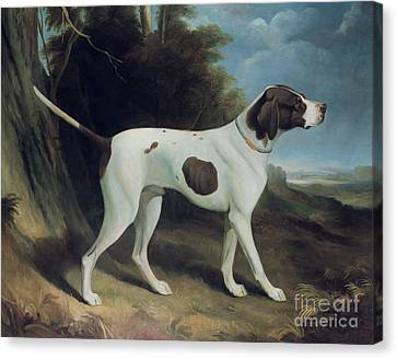 Portrait Of A Liver And White Pointer Canvas Print by George Garrard