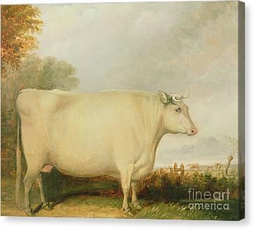 Portrait Of A Prize Cow Canvas Print by John Vine