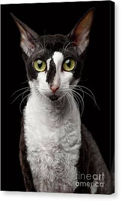 Portrait Of Cornish Rex Looking In Camera Isolated On Black  Canvas Print by Sergey Taran