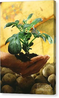 Potato Plant Canvas Print by Science Source